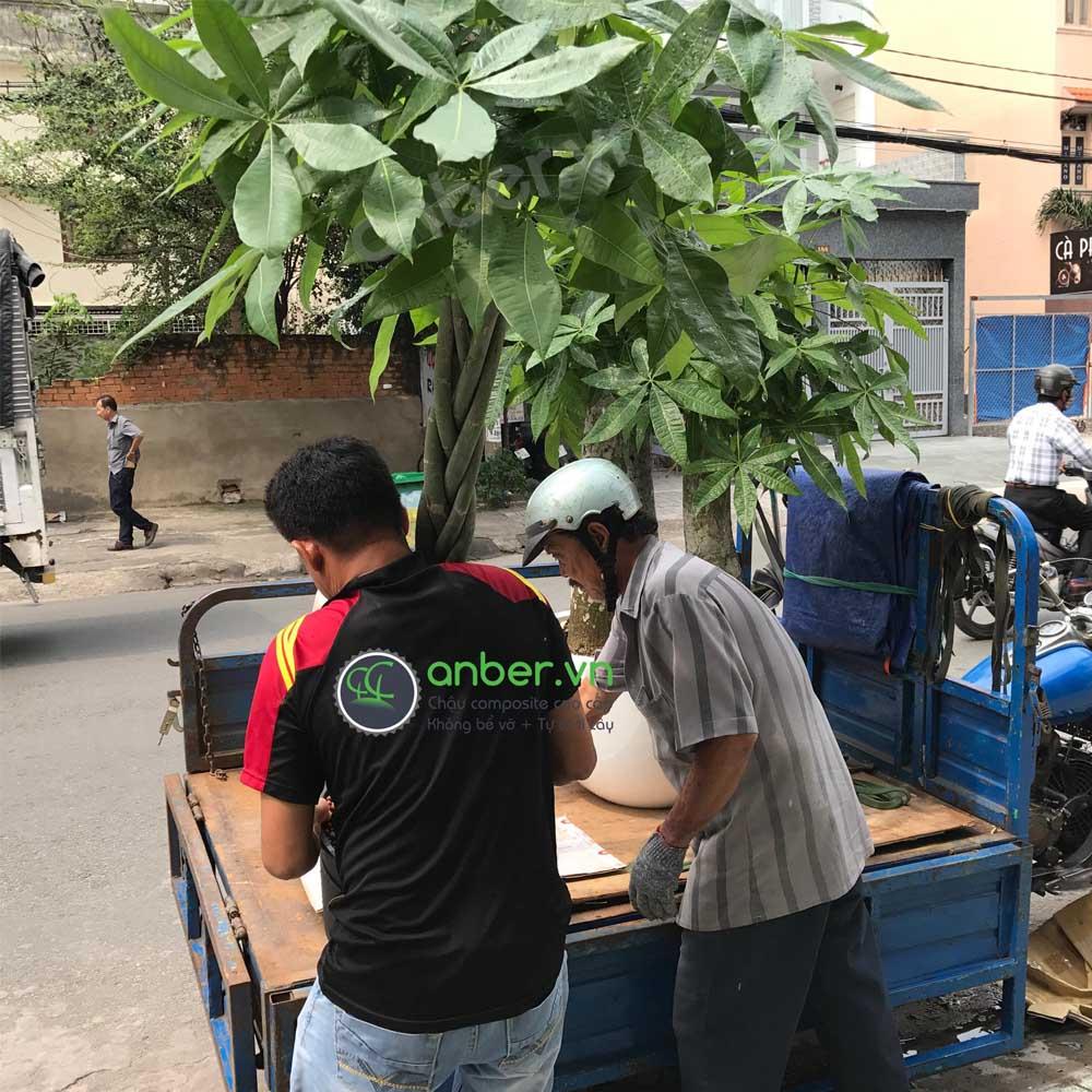 Giao hàng chậu composite Anber trồng Kim ngân Phúc Lộc Thọ [CỔ THỤ] trang trí Villa Quận 2