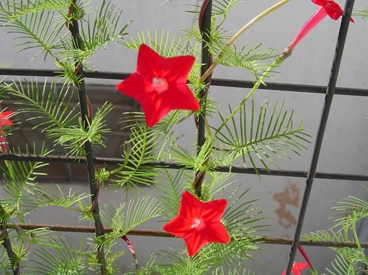 Cách trồng hoa tóc tiên leo đơn giản tại nhà