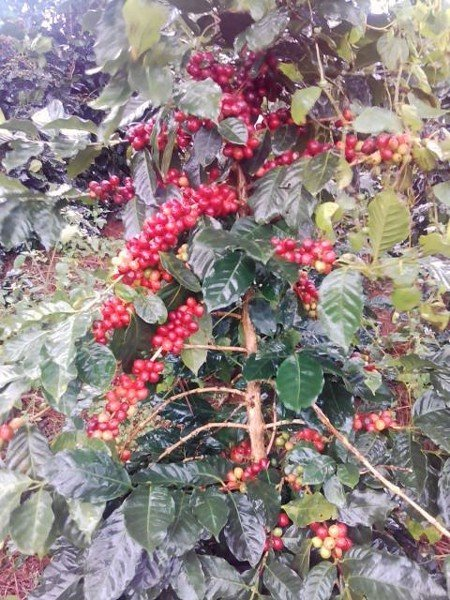 Information of PREMIUM COFFEE made by Tan Mai International Co Ltd
