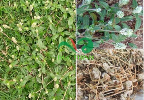 Cây nở ngày đất trị bệnh gout và tiểu đường