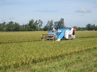 Trung Quốc giảm mua, giá lúa gạo nội địa đi xuống