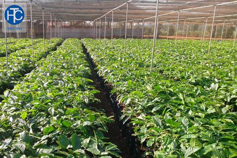 Giống, nước, phân là điều kiện phải có trong tái canh cây cà phê