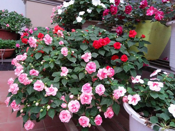 Impatiens is very suitable for garden decoration