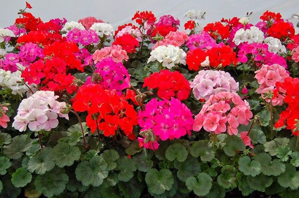 Time of flowering: Flowers bloom many times from winter to summer