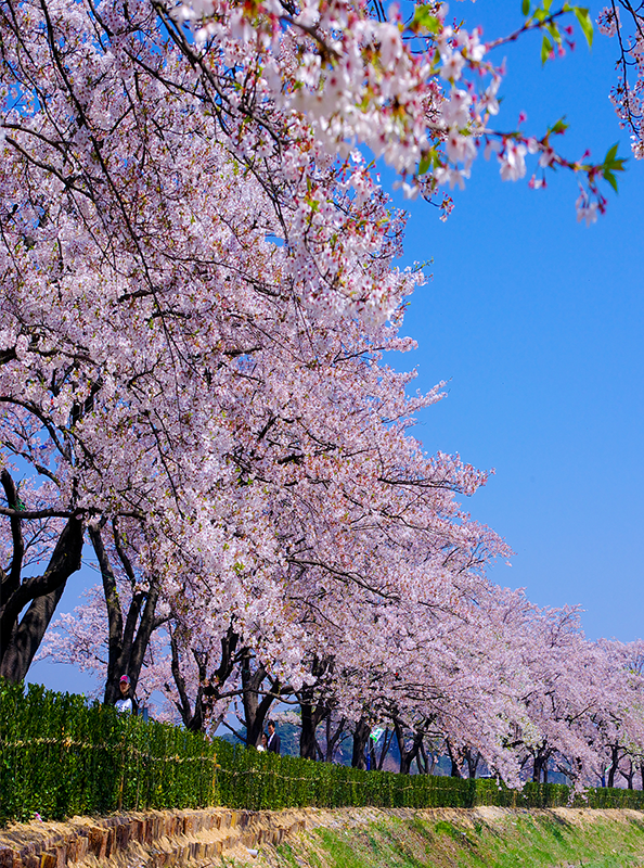 9 địa điểm tuyệt đẹp để bạn thưởng ngoạn hoa anh đào khi đến du lịch Seoul