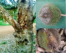 Tổng hợp sâu bệnh hại chính trên cây Sầu Riêng