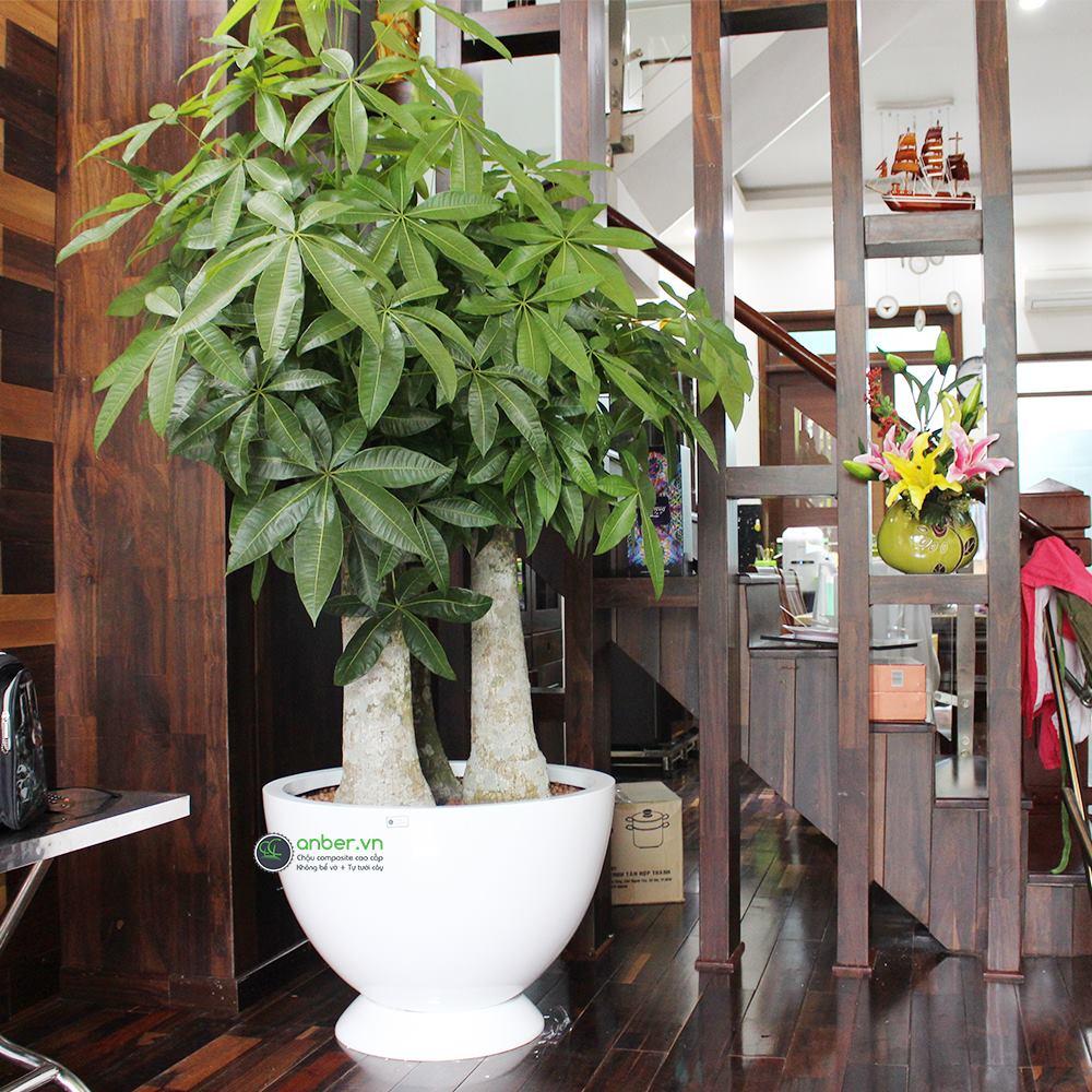 [QUẬN 1] KH trang trí phòng khách biệt thự với chậu composite Anber 1681 trồng Kim ngân PHÚC LỘC THỌ