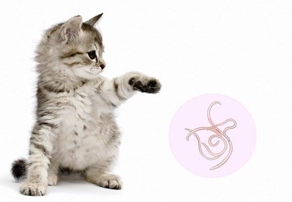 giun sán trên mèo