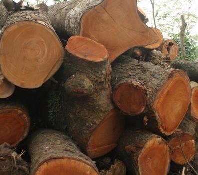 gỗ xà cừ