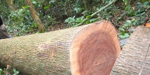 gỗ xoan