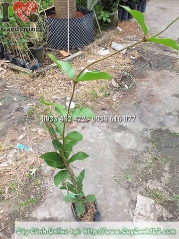 cây mai xanh thái cao 1m