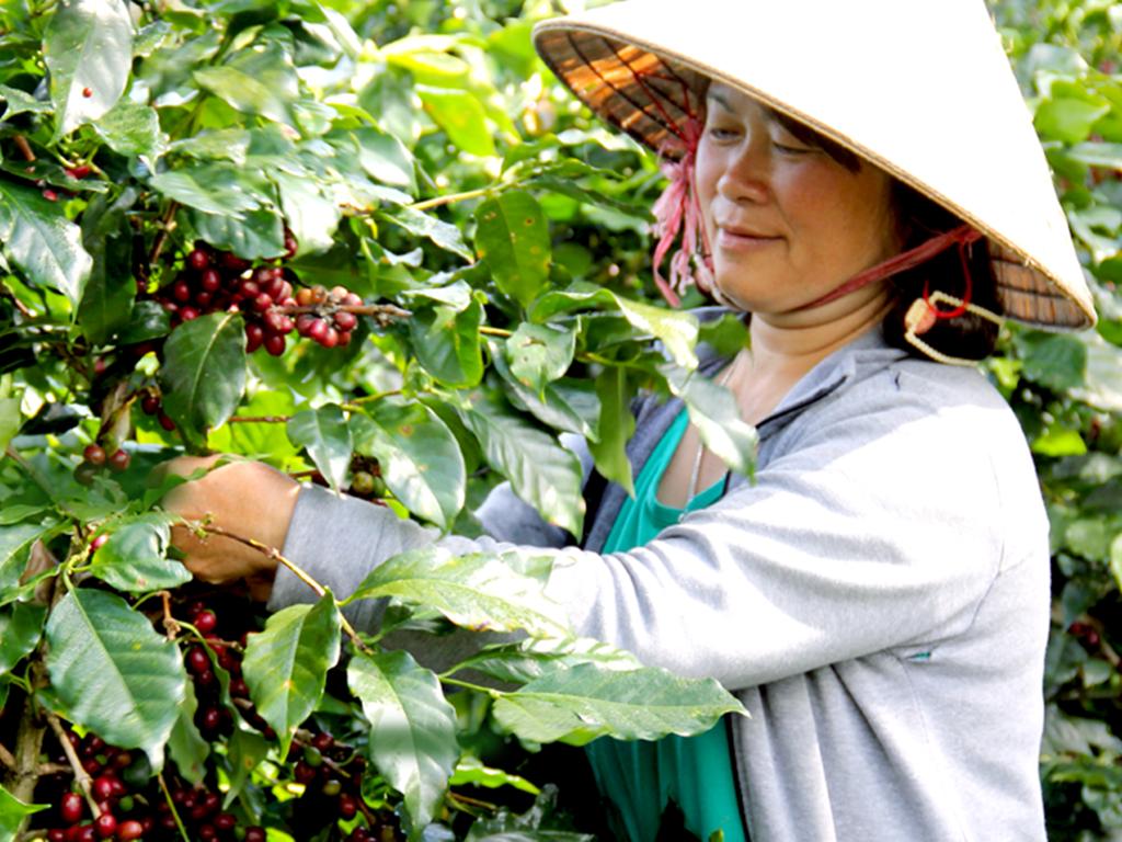 Cà phê Cầu Đất - Nguồn nguyên liệu Arabica ngon nhất Việt Nam