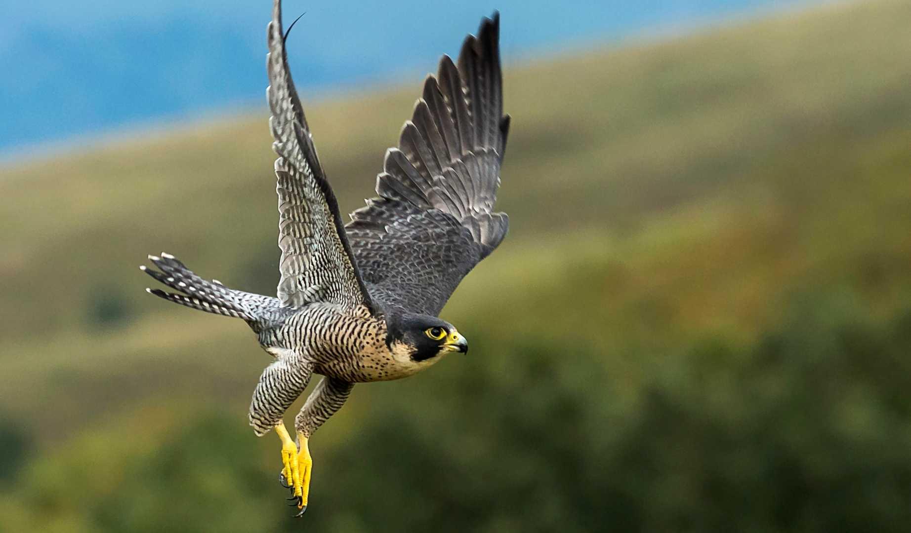 Chim ưng Peregrine Falcon đạt vận tốc 300km/h