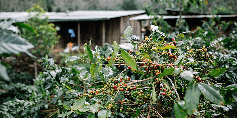 farm to cup image 1