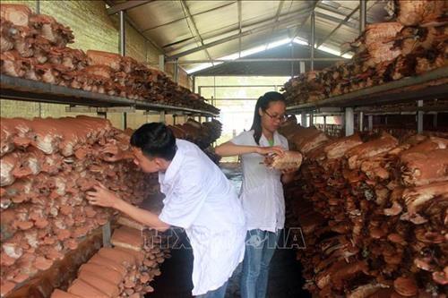 Quảng Nam nâng cao sinh kế từ mô hình trồng nấm lim xanh