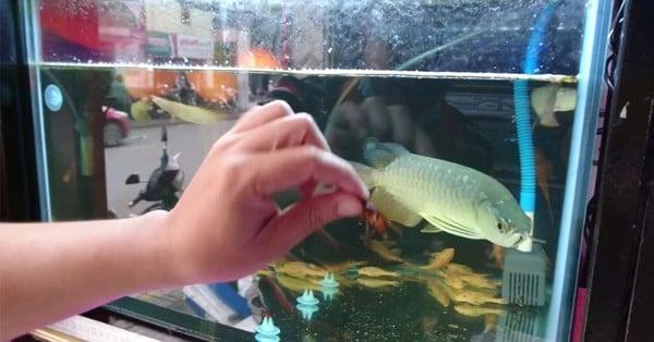 bể cá rồng bị nước đục do thừa thức ăn
