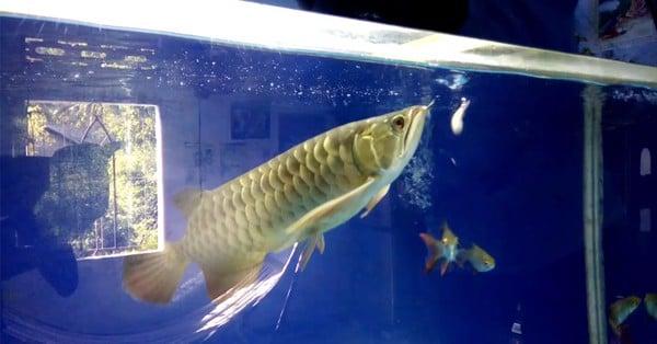 cho cá rồng ăn