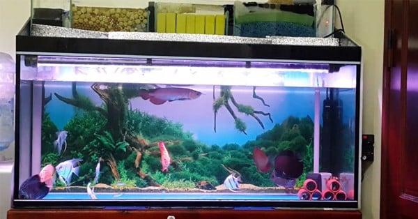 lọc tràn trên bể cá rồng