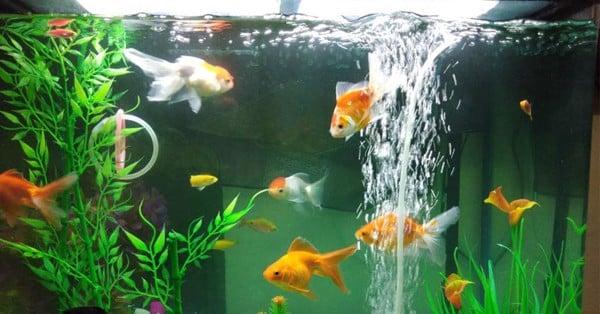 Tắt máy sục khí bể cá vào ban đêm