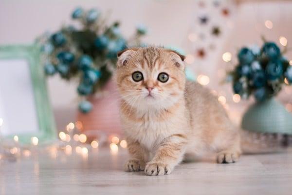 Mèo Munchkin chân ngắn, cách chăm sóc và giá bán Pet's Home