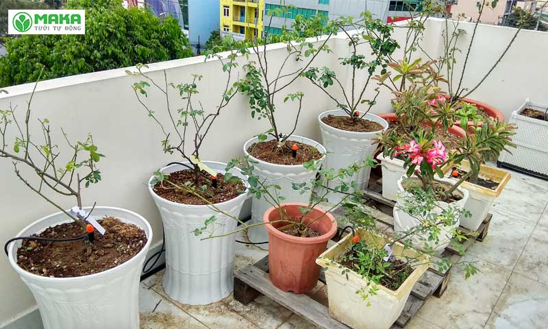 Lắp đặt tưới tự động chăm sóc cây hoa hồng trên sân thượng của chị Phượng - Quận 12