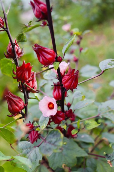 "Trao Group and the vision ""Make Hibiscus becomes the symbol of Vietnamese agriculture"""