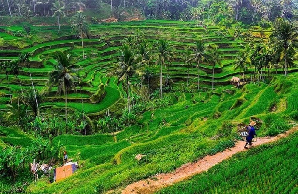 Những thửa ruộng bậc thang xanh mướt ở làng Tegalalang có con đường mòn đi qua