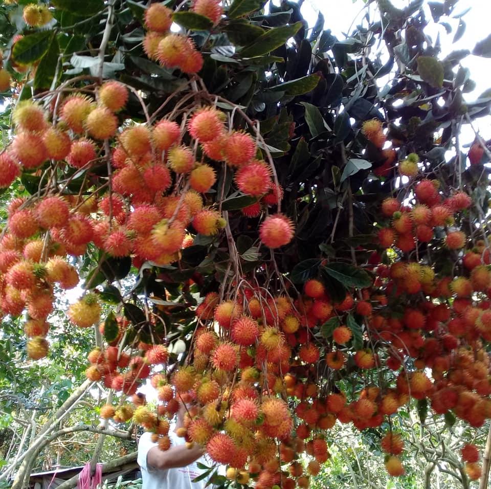 Những chùm chôm chôm chín đỏ sai trĩu nặng cành ở Vườn chôm chôm Huệ
