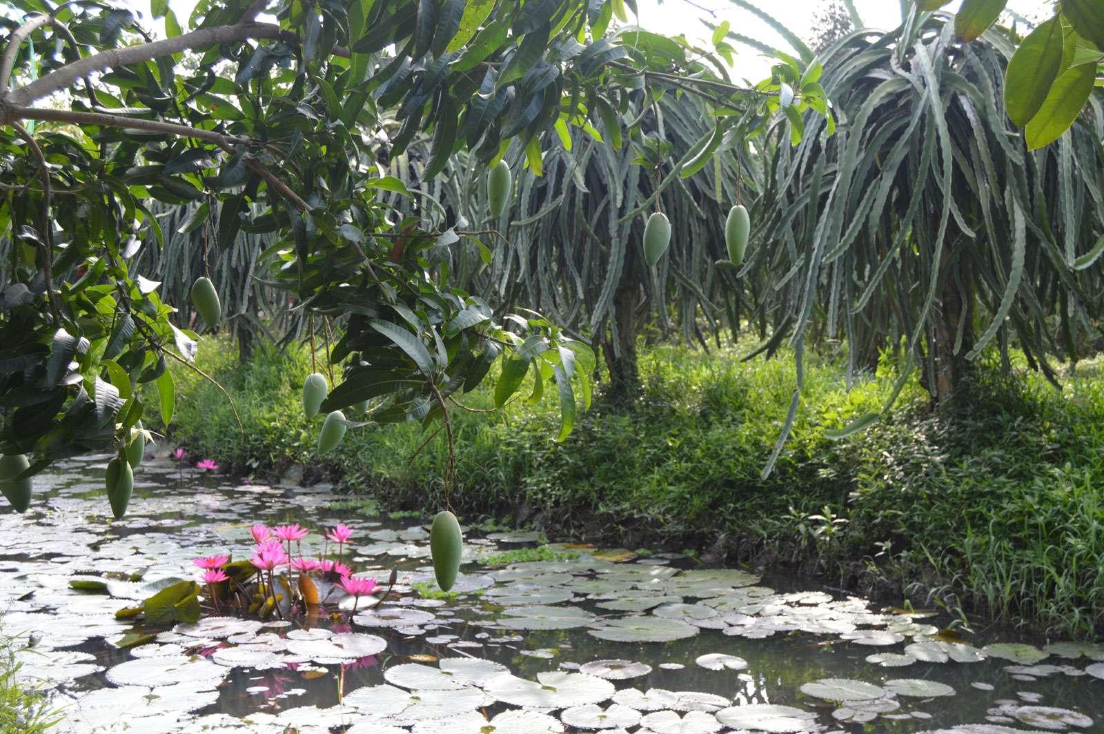 Vườn trái cây Ba Cống xanh mướt, trĩu quả nào xoài, thanh long,... và ao sen nở rộ