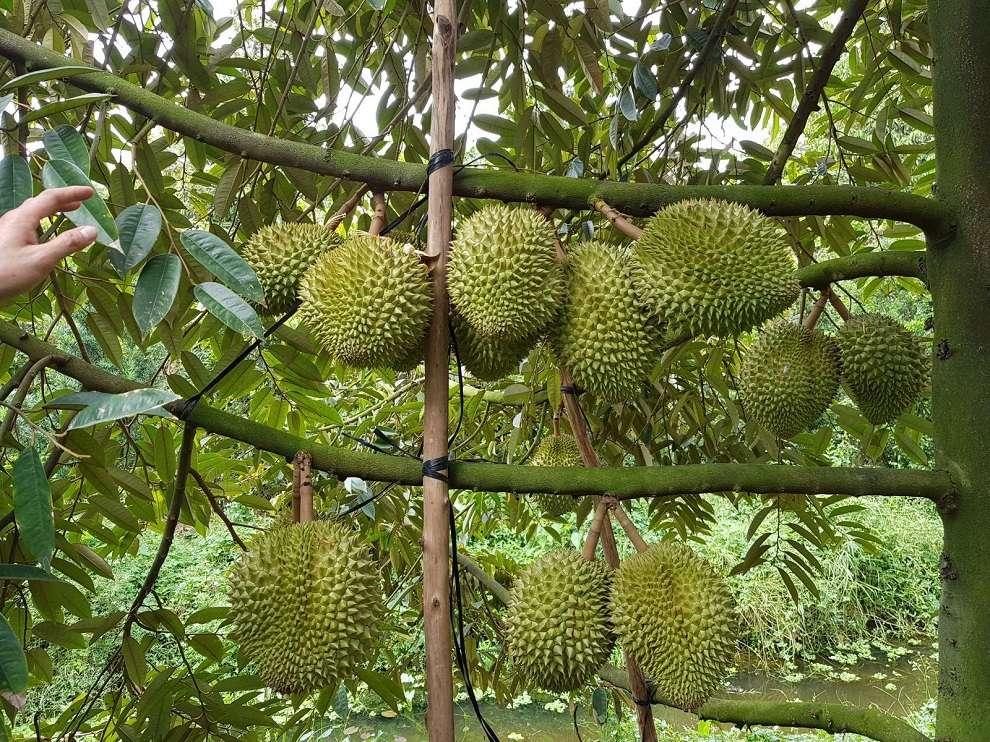 Những cành sầu riêng sai trĩu quả đang còn xanh ở vườn trái cây Cái Mơn