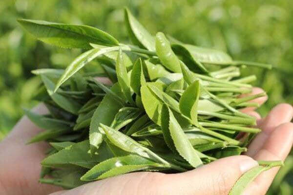 Trà xanh -  thực phẩm giảm cân tự nhiên