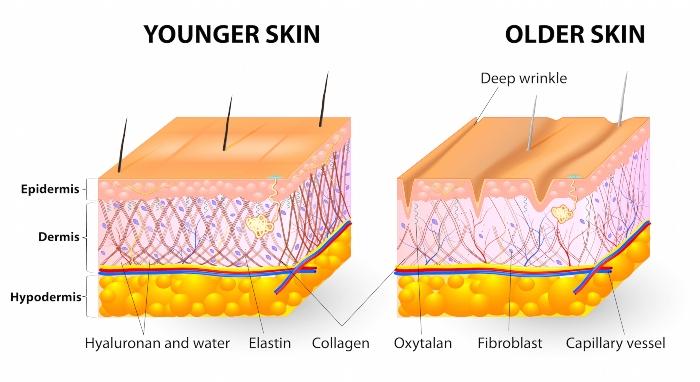 Collagen giữ vai trò là một chất gắn kết các tế bào dưới da
