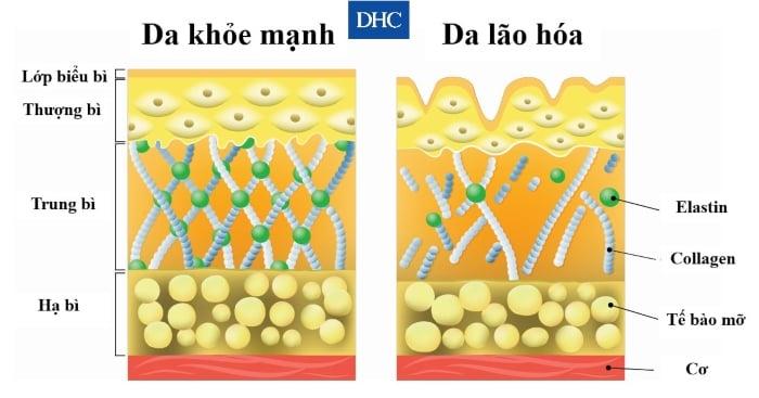 Collagen type 1 xuất hiện nhiều ở tế bào da