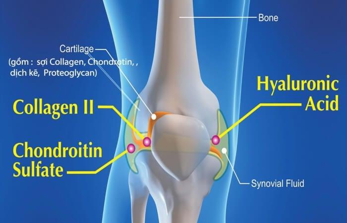 Collagen type 2 có nhiều trong sụn và các khớp xương