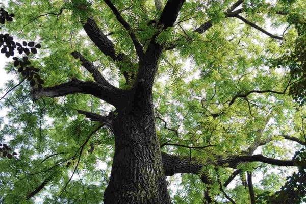 Tìm hiểu về cây Gỗ Đàn Hương - Một trong những loài gỗ quý hiếm và đắt bậc nhất thế giới