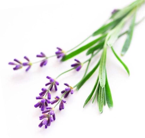 Oải Hương Pháp - Spike lavender