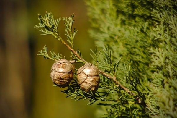 Tinh Dầu Trắc Bách Diệp - Cypress Essential Oil - Hoa Thơm Cỏ Lạ
