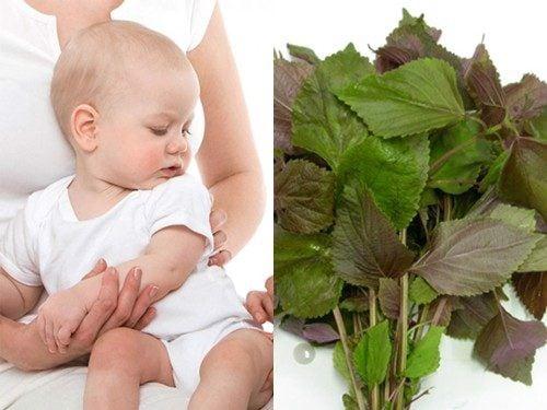 Sử dụng lá tía tô để giúp bé khỏi cảm lạnh