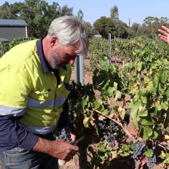 Watch Professional Aussie Vine Worker Picks Grenache