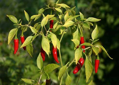 Đọt ớt bị vàng, lan dần xuống các lá già là bị bệnh gì?