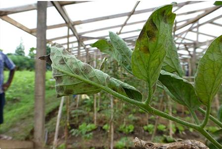 Bệnh đốm xám hại cà chua và cách phòng trị