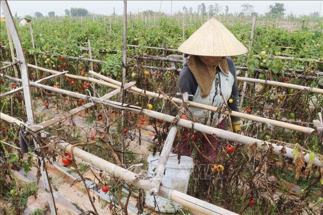 Cà chua chết khô vì bệnh lạ, nhiều hộ dân Quỳnh Lưu 'trắng tay'