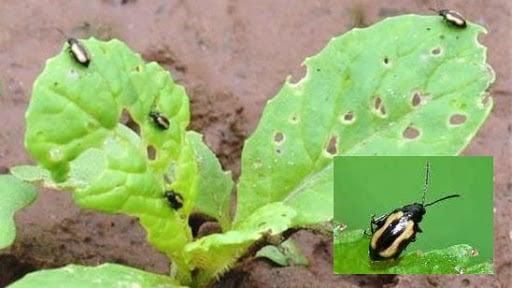 Biện pháp diệt trừ bọ nhảy trên rau cải