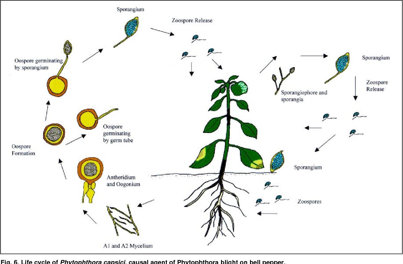 Tổng quan về nấm Phytophthora Capsici gây bệnh chết nhanh trên cây Hồ tiêu và các biện pháp phòng trừ