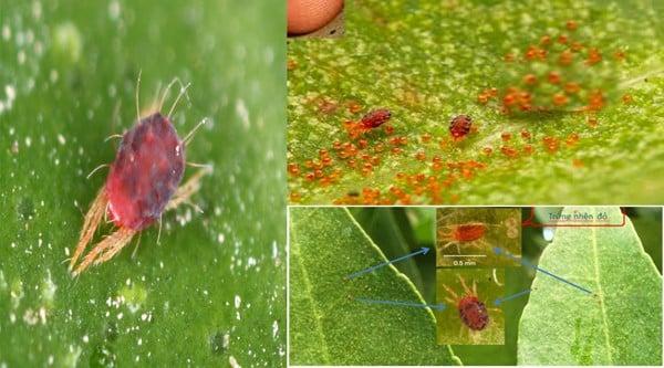 nhện đỏ gây hại