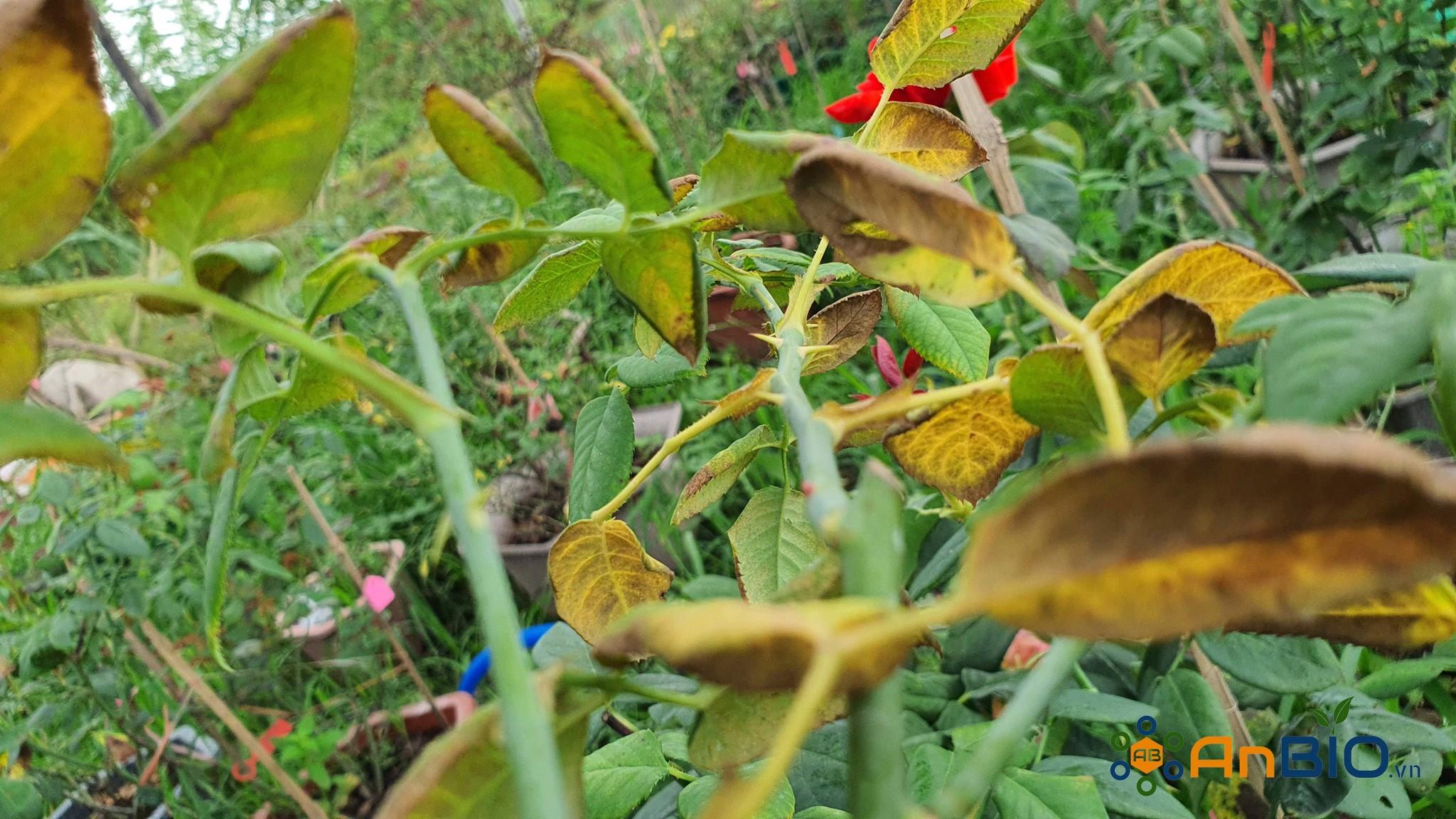 Phòng trừ nhện đỏ trên Hoa Hồng