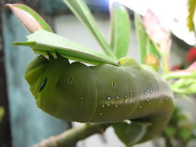 Cách phòng trị sâu ăn lá cây mai