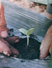 Hình 10: Cây con được trồng ra ruộng.