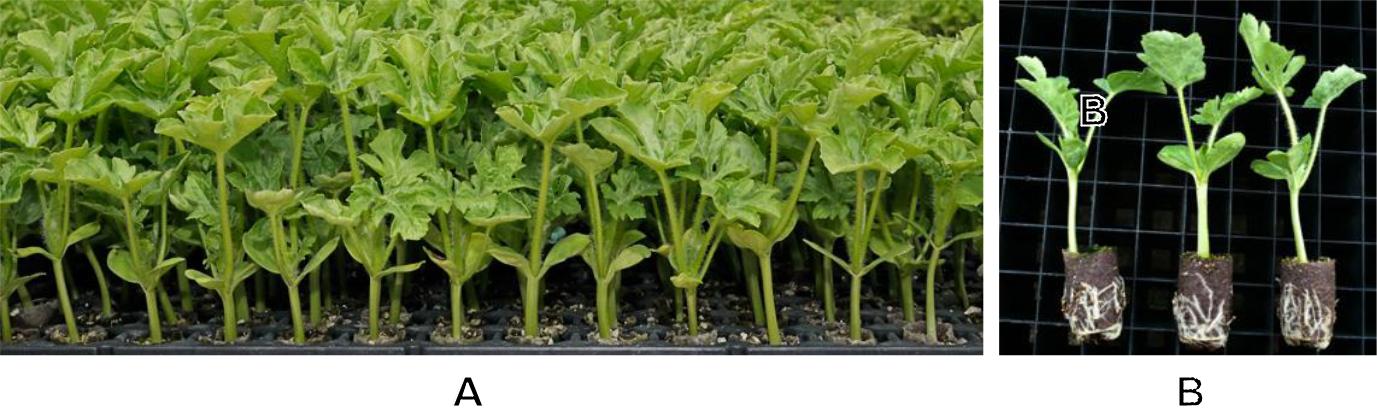 Hình 1: (A) Cây dưa con được gieo trong bầu; (B) phát triển thân, lá và rễ cây dưa trong giai đoạn cây con.