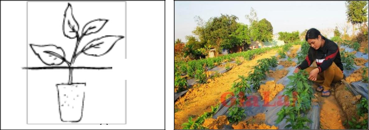 Hình 4: (A) Kỹ thuật đặt bầu; (B) Trồng ớt có màng phủ nông nghiệp.